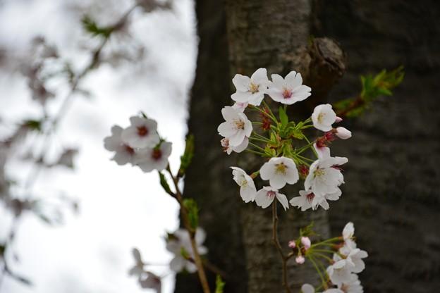 Photos: 桜明暗