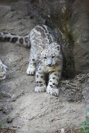 多摩動物公園111029-ユキヒョウの子供達 スカイくん-06