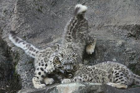多摩動物公園111029-ユキヒョウの子供達 エナちゃんが降ってきて-01