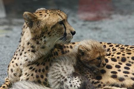 多摩動物公園110603-チーターの赤ちゃん-16