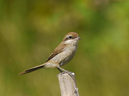 アカモズ(Brown Shrike) P1100512_R
