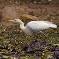 写真: アマサギ(婚姻色)(Cattle Egret) P1170662_R