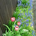 Photos: 春のお庭(^^)/ チュー...