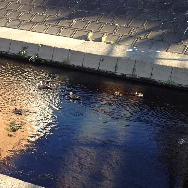 冬の川で暮らすアイガモ