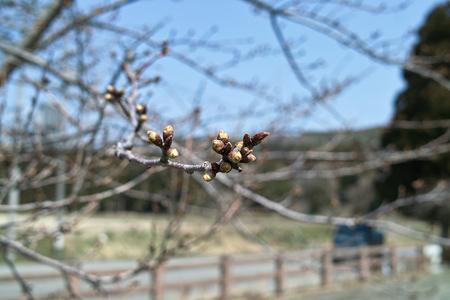 Cherry_Blossom_buds03282012dp2-03