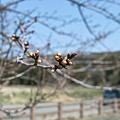 Photos: Cherry_Blossom_buds03282012dp2-03