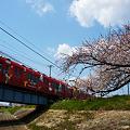 写真: 桜からピカチュー