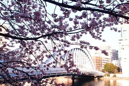永代橋の大寒桜 2012  01