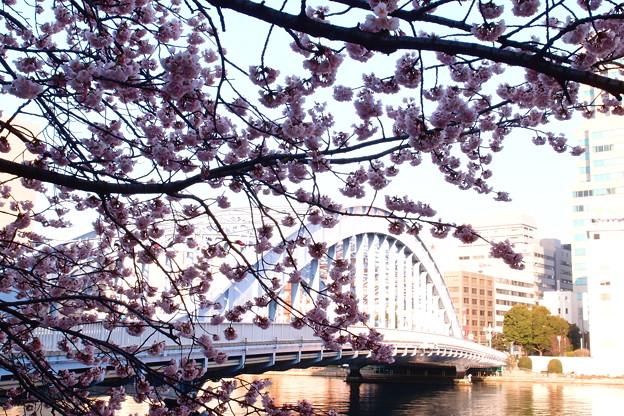 Photos: 永代橋の大寒桜 2012  01