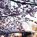 写真: 永代橋の大寒桜 2012  01
