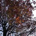 紅葉葉楓 最後の紅葉 #2_108