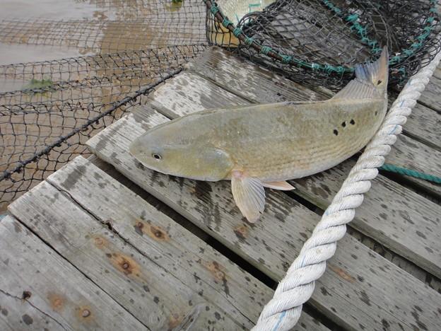 養殖 美国紅魚 (4)