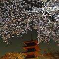 Photos: 夜桜1