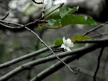 智光山 376 桜