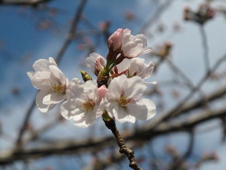 開花桜 (2)