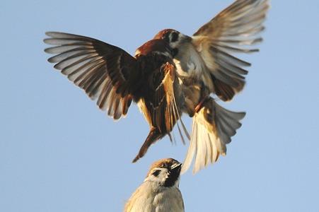 雀の集団も闘争社会