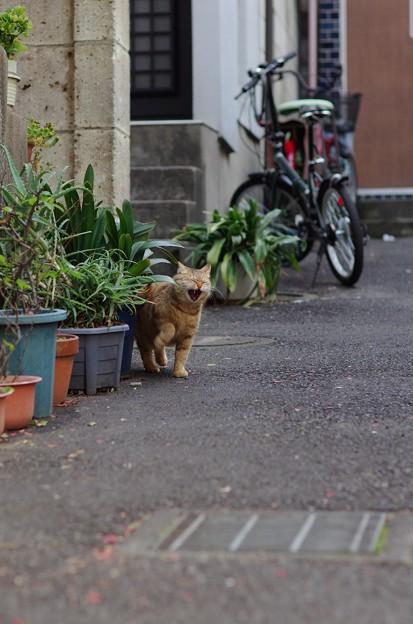 あくびネコ(転)