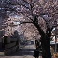 Photos: 2012桜道(横浜市港南区)その4
