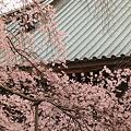 般若院 枝垂桜