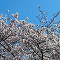 写真: 桜って白いよね