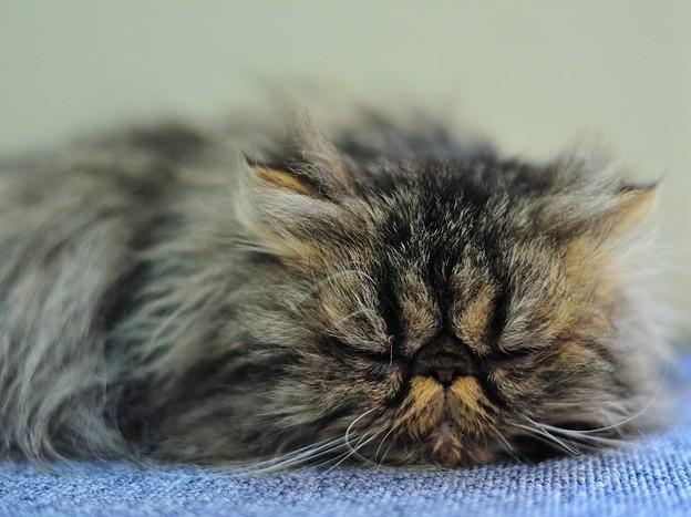 安らぎの表情で眠るネコ
