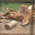 Photos: 群馬サファリのハーレムライオン。