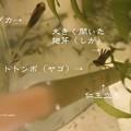 Photos: 翅芽(しが)も開きいよいよ羽化。(イトトンボ飼育)