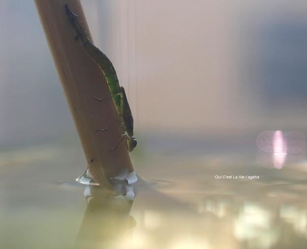 濡れた躰は重そうです。特に尾毛(びもう)が。(イトトンボ飼育)