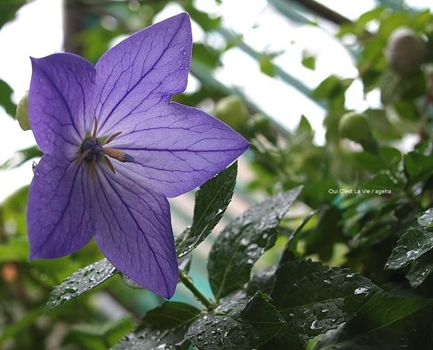 紫桔梗開花。2012.6