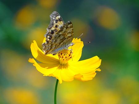 黄花 秋桜と蝶