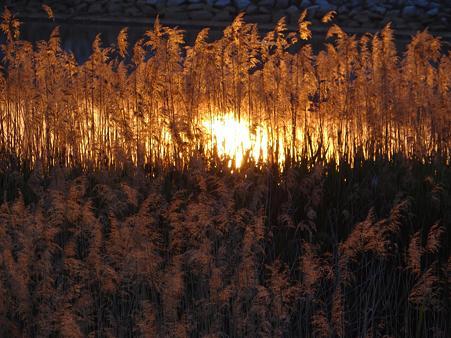 葦が燃える夕陽