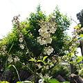 Photos: ブルーベリーの花2