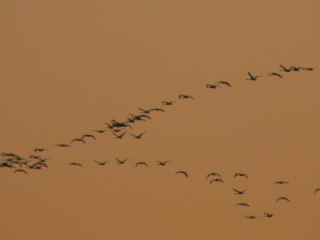 Photos: 白鳥の渡り