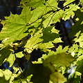 Photos: Norway Maple in the Light 11-6-11