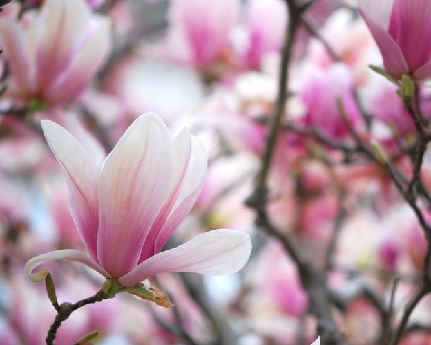 Saucer Magnolia 4-18-12