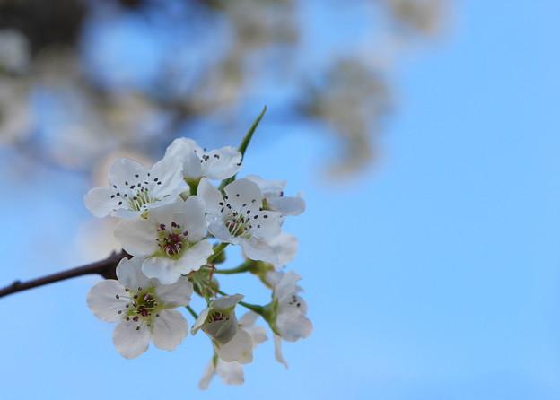 Photos: Callery Pear Blossom 4-19-12