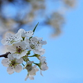Callery Pear Blossom 4-19-12