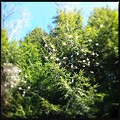 Canada Serviceberry at the Camp 5-5-12