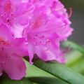 Rhododendoron 6-1-12