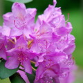Rhododendron 6-7-12
