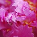 Photos: Hot Pink Peony 6-30-11