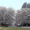 昼休みの花見散歩