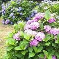 写真: あじさいも咲いてんぜ。