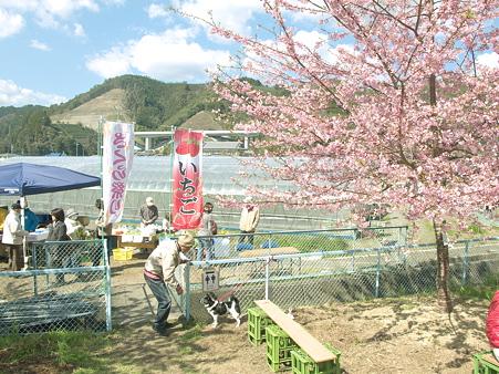 美和桜20120314_2