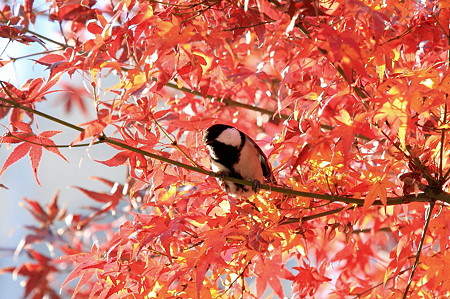 2011.12.11 和泉川 シジュウカラ
