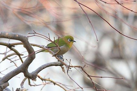 2012.01.18 和泉川 庭木にメジロ