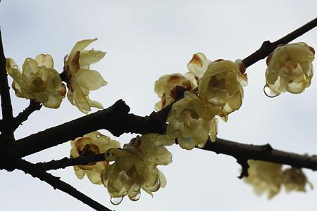 2012.02.23 大池公園 ロウバイ