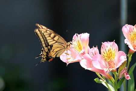 2012.07.10 和泉川 キアゲハ