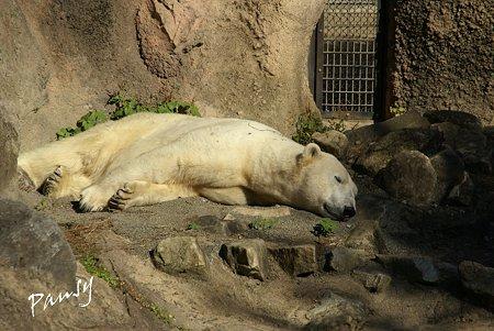 白クマさんのお昼寝・・ ズーラシア