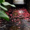 写真: 椿散る川・・